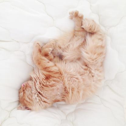 Duvet「Two ginger cats sleeping on a bed in sunlight」:スマホ壁紙(5)