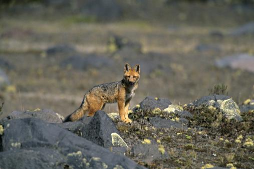 Bolivian Andes「Andean Fox, native to Paramo Cotopaxi National Park, Ecuador」:スマホ壁紙(0)