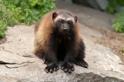 Endangered Species「Wolverine (G. gulo)」:スマホ壁紙(6)