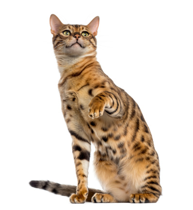 Leopard pattern「Bengal sitting, pawing and looking up」:スマホ壁紙(9)