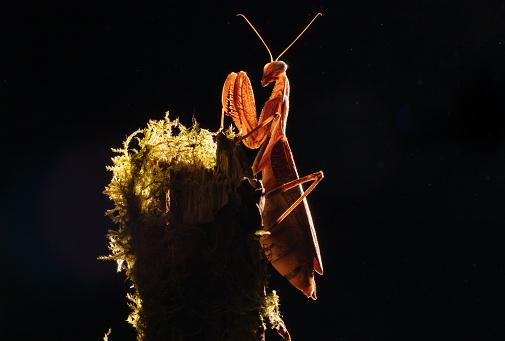 Animal Arm「Giant Asian Mantis」:スマホ壁紙(12)