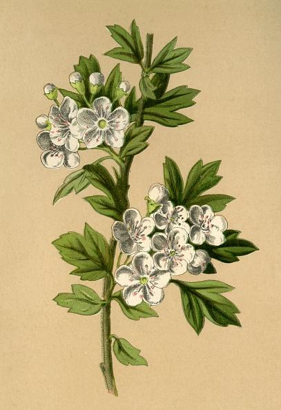 葉・植物「Hawthorn」:写真・画像(10)[壁紙.com]