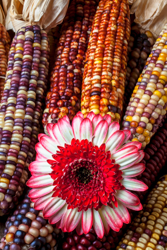 Indian Corn「Red and white mum with Indian corn」:スマホ壁紙(15)