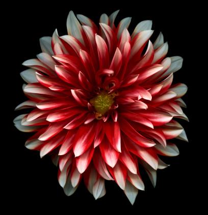 Dahlia「Red and White dahlia」:スマホ壁紙(15)
