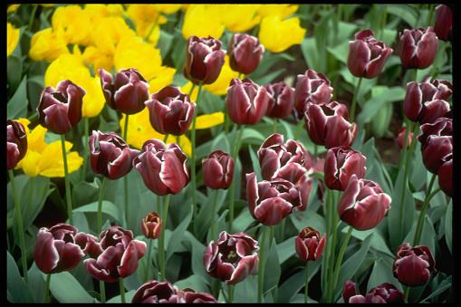 Keukenhof Gardens「Red and White Tulips」:スマホ壁紙(8)