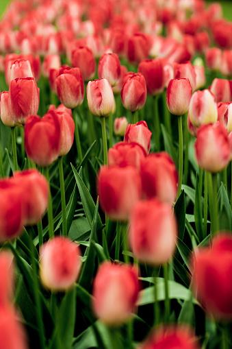 Keukenhof Gardens「Red and white tulips at Keukenhof」:スマホ壁紙(18)