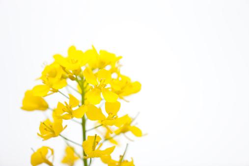 アブラナ「菜種の花」:スマホ壁紙(19)