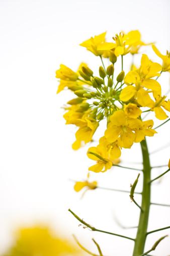 アブラナ「菜種の花」:スマホ壁紙(9)