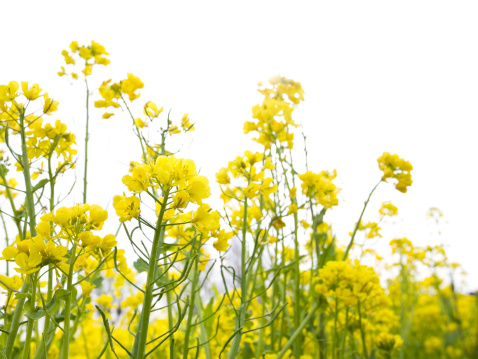 Oilseed Rape「Rape Blossoms」:スマホ壁紙(19)