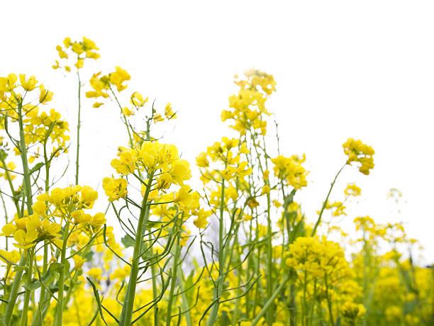 菜種の花:スマホ壁紙(壁紙.com)