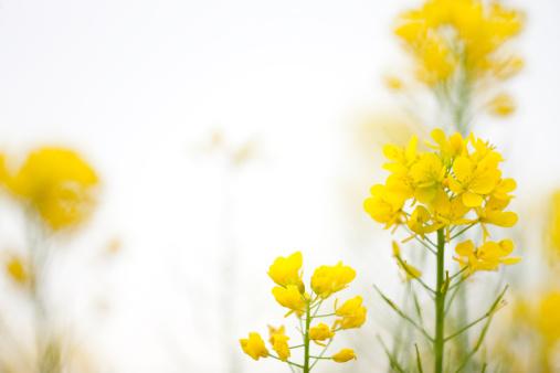 アブラナ「菜種の花」:スマホ壁紙(16)