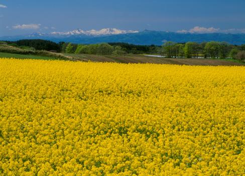 Springtime「Rape Blossoms at Fukkoshi, Yokohama, Kamikita, Aomori, Japan」:スマホ壁紙(15)