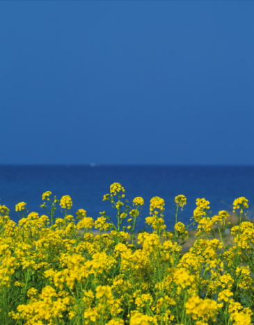Oilseed Rape「Rape blossoms with the ocean in the background, Tateyama, Chiba Prefecture, Japan」:スマホ壁紙(4)
