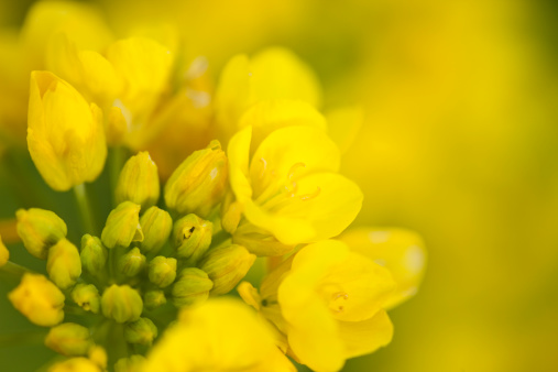 Oilseed Rape「Rape Blossoms」:スマホ壁紙(15)