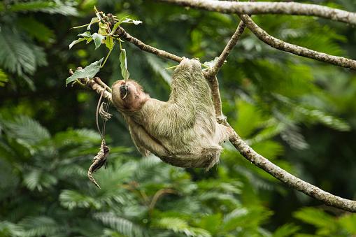 Three-toed Sloth「Thee-toed Sloth climbing Cecropia Tree, Costa Rica」:スマホ壁紙(19)