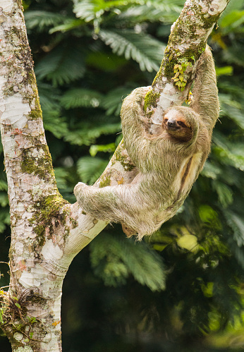 Three-toed Sloth「Thee-toed Sloth climbing Cecropia Tree, Costa Rica」:スマホ壁紙(7)