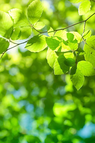 Spring beech leaves:スマホ壁紙(壁紙.com)
