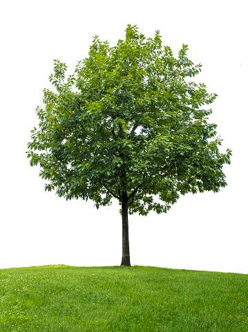 Deciduous tree「Little oak tree against white background」:スマホ壁紙(13)