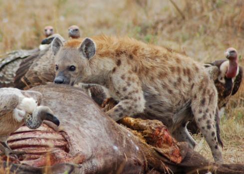 ガラス「Hungry hyena」:スマホ壁紙(6)