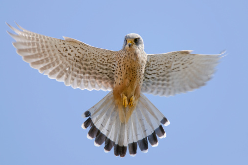 Hawk - Bird「Kestrel (Falco tinnunculus)」:スマホ壁紙(18)