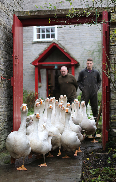 Free Range「This Year Sees An Increase In Demand For Goose For Christmas Dinner」:写真・画像(4)[壁紙.com]