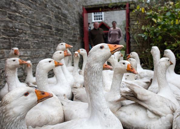 雁「This Year Sees An Increase In Demand For Goose For Christmas Dinner」:写真・画像(14)[壁紙.com]