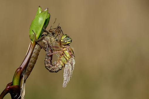 とんぼ「Hairy dragonfly with pupa」:スマホ壁紙(12)