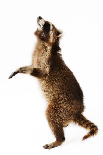 Raccoon「Racoon standing on hind legs, side view, studio shot」:スマホ壁紙(9)