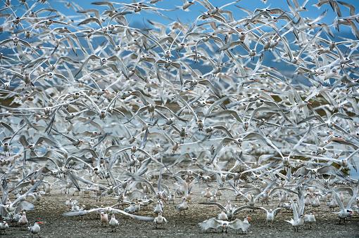 Flock Of Birds「Large Flock of Tern Birds Flying En Masse From Feeding」:スマホ壁紙(13)