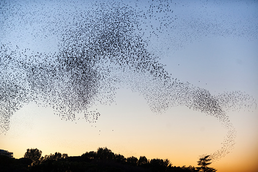 Flock Of Birds「Large Flock of Starlings flying to Roost at sunset」:スマホ壁紙(9)