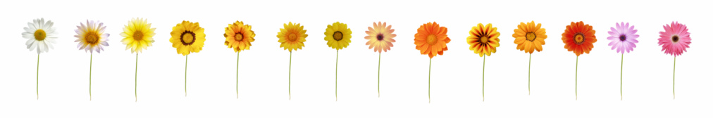 Single Flower「Fourteen daisies XXXL」:スマホ壁紙(19)