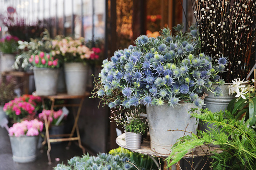 Flower Shop「Tin planters with blue sea holly flowers placed on tables outside a flower shop in Paris in early spring.」:スマホ壁紙(5)