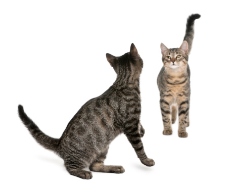 Mixed-Breed Cat「Two Mixed-breed cats looking at each」:スマホ壁紙(12)