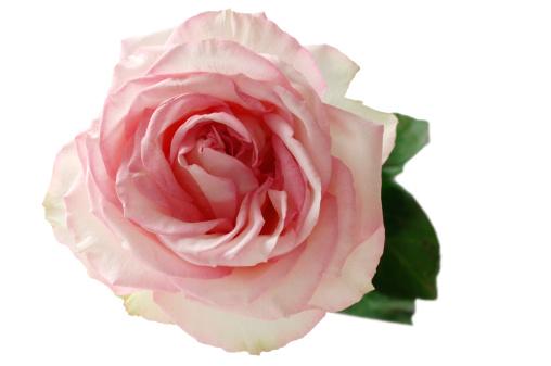 バラ「Pink rose (Rosa), elevated view」:スマホ壁紙(19)