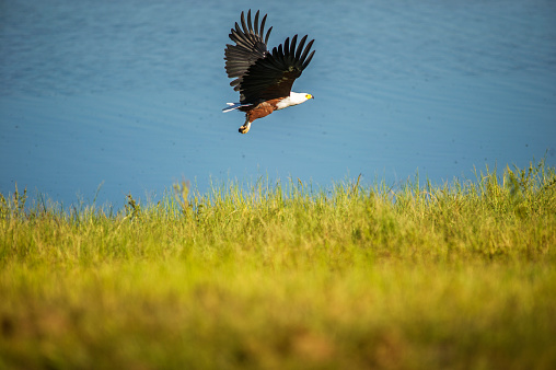 African Fish Eagle「Fish Eagle (Haliaeetus vocifer), Chobe National Park」:スマホ壁紙(17)