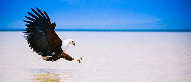 Lake Bogoria National Park「Fish Eagle Fly」:スマホ壁紙(2)