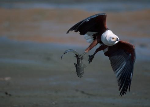 African Fish Eagle「Fish Eagle (Haliaeetus vocifer) Carrying a Muddy Fish」:スマホ壁紙(19)