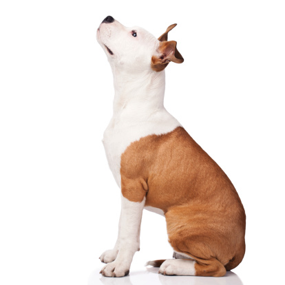 Sitting「American Staffordshire Terrier obedience training」:スマホ壁紙(3)