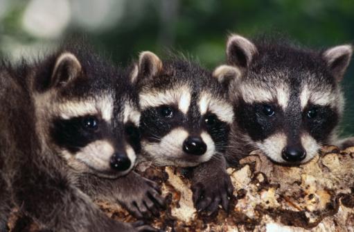 アライグマ「Baby raccoons」:スマホ壁紙(18)