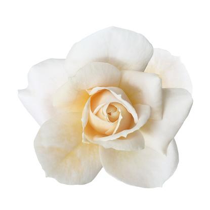 Petal「Fragrant white rose from above, on white.」:スマホ壁紙(11)