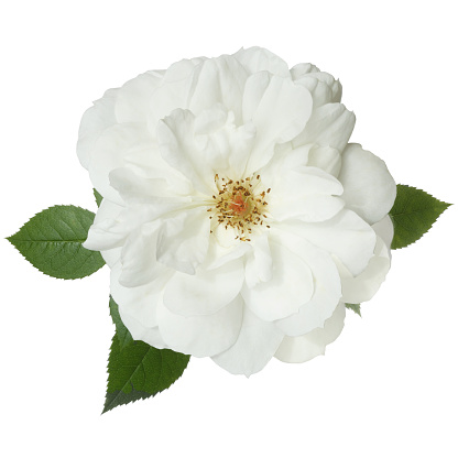 Girly「Fragrant white rose with leaves from above, on white.」:スマホ壁紙(17)