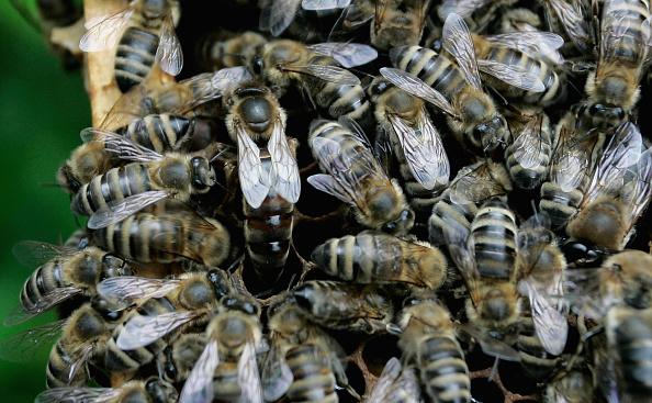 虫・昆虫「German Bee Deaths Blamed on Pesticide Use By Farmers」:写真・画像(17)[壁紙.com]