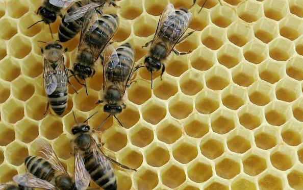 Honey「German Bee Deaths Blamed on Pesticide Use By Farmers」:写真・画像(4)[壁紙.com]