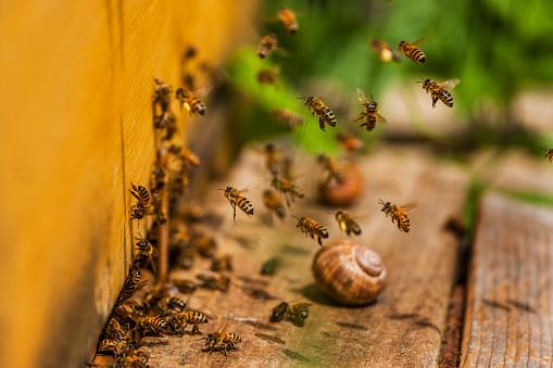 カタツムリ「Honey bees and snail shell」:スマホ壁紙(7)