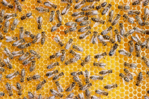 Colony - Group of Animals「Honey bees on honeycomb」:スマホ壁紙(9)
