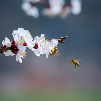 Cherry Blossom「Honey Bees Pollinating On Cherry Blossoms」:スマホ壁紙(1)