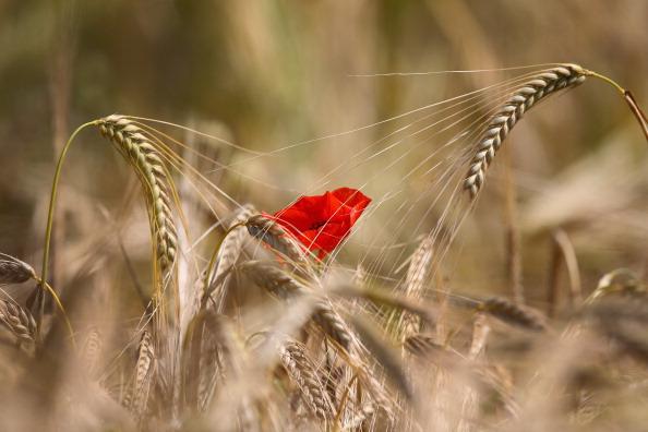 Barley「Poppies Grow In Fields Ahead Of Centenary Of WW1」:写真・画像(5)[壁紙.com]