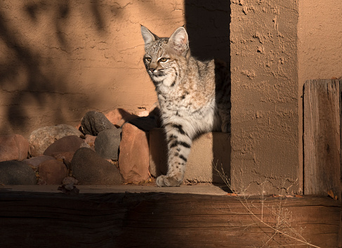 Cat「Bobcat on home front porch in Sedona, Arizona.」:スマホ壁紙(2)