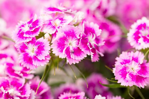 カーネーション「ピンクの甘いウィリアム」:スマホ壁紙(7)