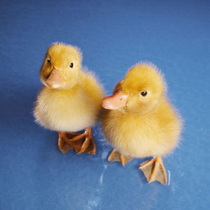 American Pekin Duck「Two Ducklings on Blue Background」:スマホ壁紙(11)